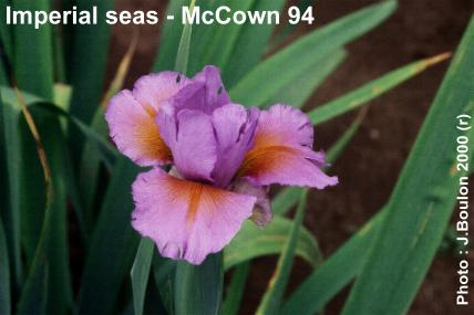 Iris spuria Imperial Seas