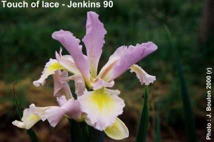 Iris spuria Touch of Lace
