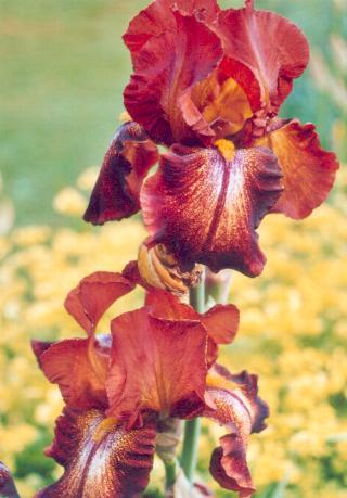 Les photos de fleurs d 39 iris et de plantes bulbe du site - Faut il couper les fleurs fanees des hortensias ...