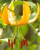 Plantes bulbes introduction la botanique et la culture - Plante a bulbe liste ...