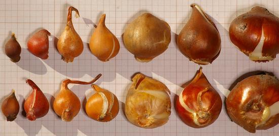 tulipe graine