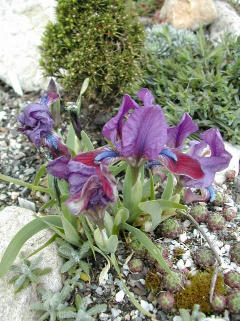 Ces iris viennent de mon jardin  dans MES IMAGES Iris-pumila-attica